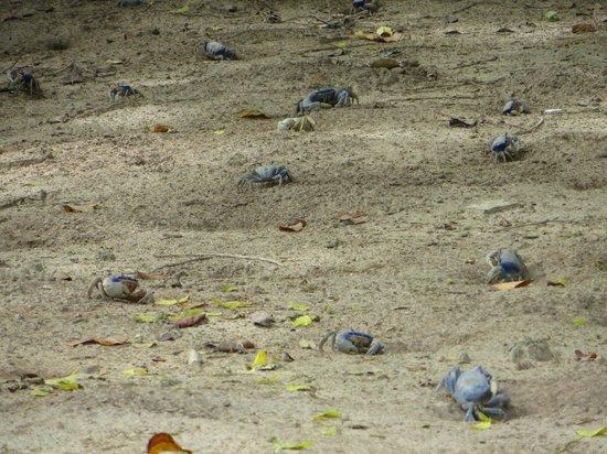 Villa Guaiamu Hotel: Blue crabs (Guaimu)