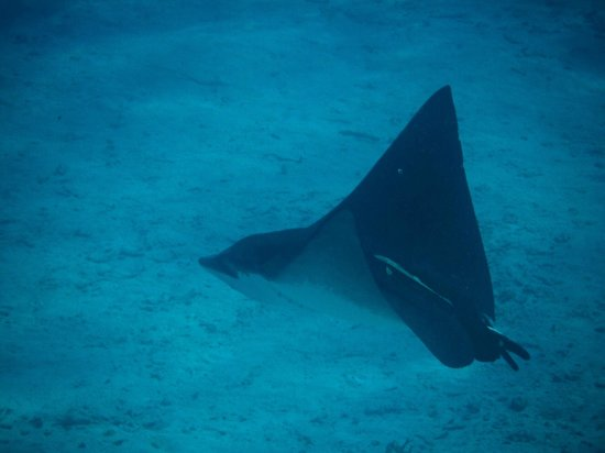 Holiday Hotel: Bat ray