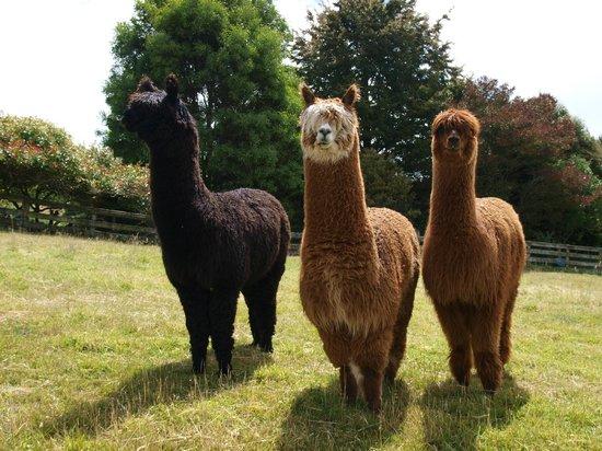 Bellbird Ridge Farmstay B&B: Meet Harry, Draco, and Ron the alpacas