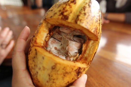 El Quetzal de Mindo : Fresh Cacao Pod