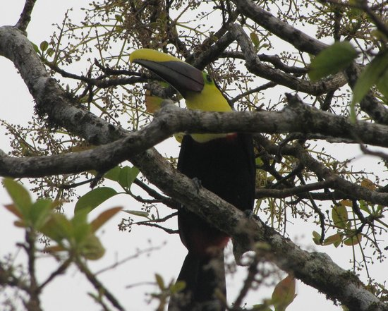 The Springs Resort and Spa: Chestnut-mandibled Toucan at The Springs