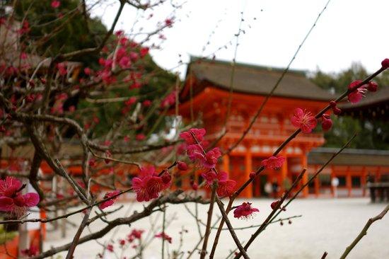 Shimogamo Jinja: 梅が咲き始めていました