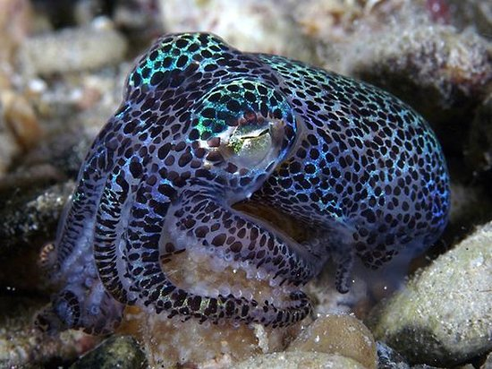 Wakatobi Dive Resort: The short tail squid is found on the reefs at Wakatobi, and is popular photo subject.