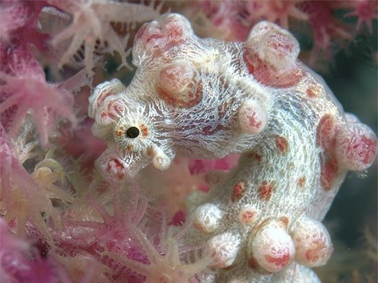 Wakatobi Dive Resort: No mention of Wakatobi resort or Pelagian dive yacht would be complete without pygmy seahorses.