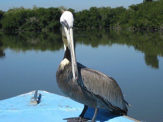 Stone Island (Isla de las Piedras): Brown Pelicanos