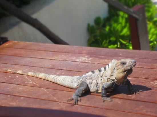 Live Aqua Beach Resort Cancun: Iguana at Azur