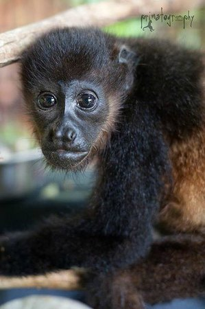 KSTR Monkey Tour: Baby howler monkey
