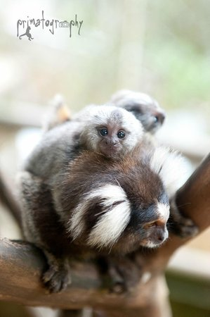 KSTR Monkey Tour: Baby marmoset