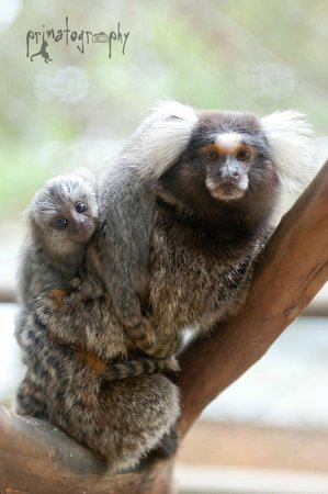 KSTR Monkey Tour: Marmoset monkeys