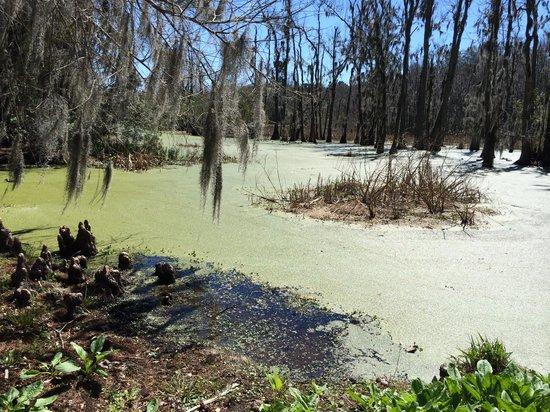Magnolia Plantation & Gardens: swamp