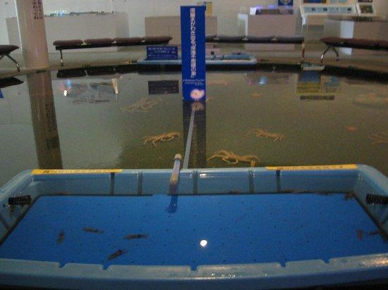 Firefly Squid Museum: 海洋深層水の水槽内の活ほたるいかと活かに