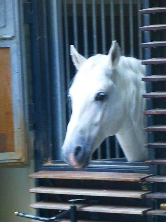 Spanish Riding School : The beautiful Lipizzaner Stallions