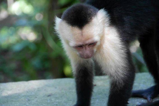 Gumbalimba Park: A capuchin monkey