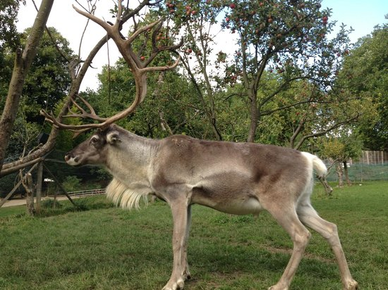 Prinknash Bird And Deer Park: Rudolph looking quite magnificent in 2013