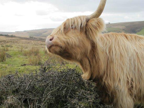 Experience Exmoor: An Exmoor beastie
