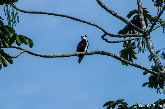 Lake Arenal: Osprey by the lakeside.