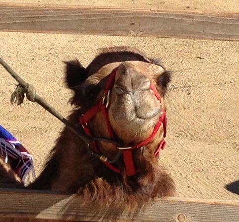 Wild Canyon Adventures: camel