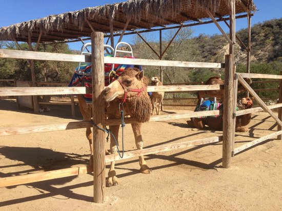 Wild Canyon Adventures: camel