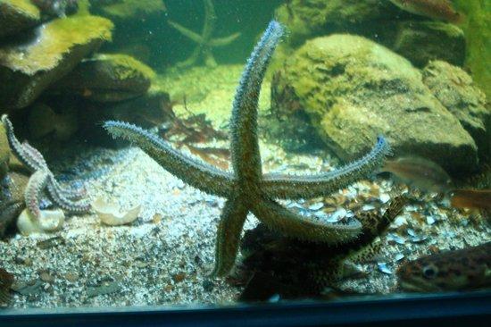 Ilfracombe Aquarium: Starfish