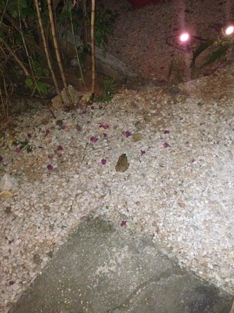 Indra Inn: Cane toad outside the room