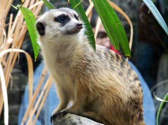 National Zoological Park: meerkat