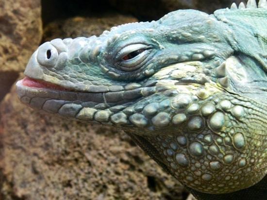 National Zoological Park: Iguana