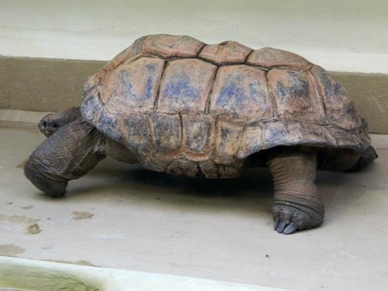 National Zoological Park: Giant Tortoise