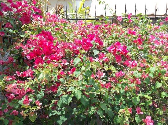 Serendib Guest House garden bougainvillea