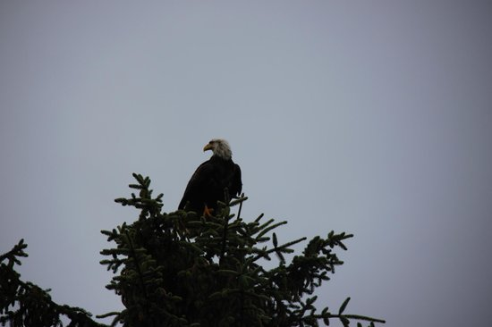 Ketchikan Taxi Cab Tours: one of many eagles seen on tour