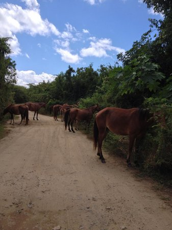 "Hix Island House: Wild horses, like these, roam the island.  I call this shot ""Rush Hour in Vieques."""