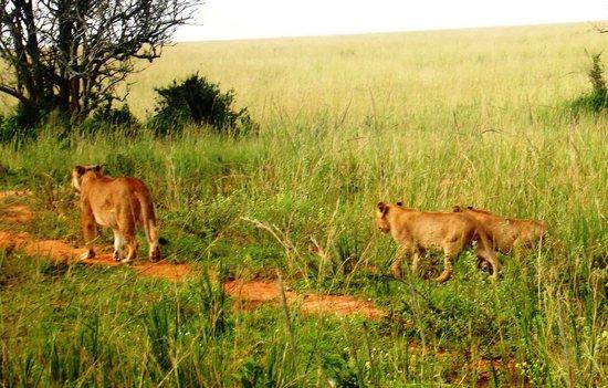 Murchison Falls National Park: Lions