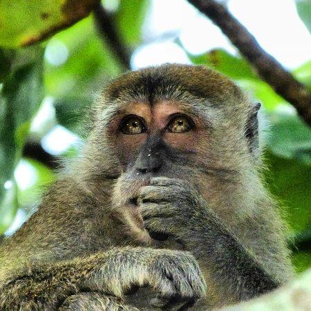 Tanjong Jara Resort: Pet monkey