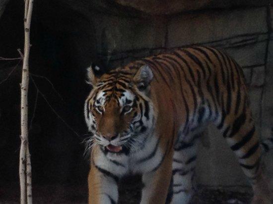 Indianapolis Zoo : Tiger