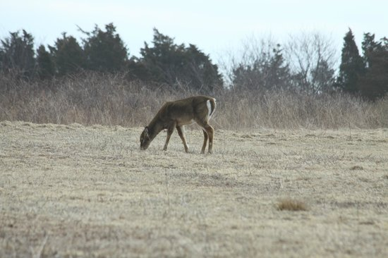 Sachuest Point National Wildlife Refuge: One of 3 deer right near the visitor center.