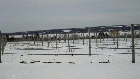 Anyela's Vineyards: Vineyards in March.