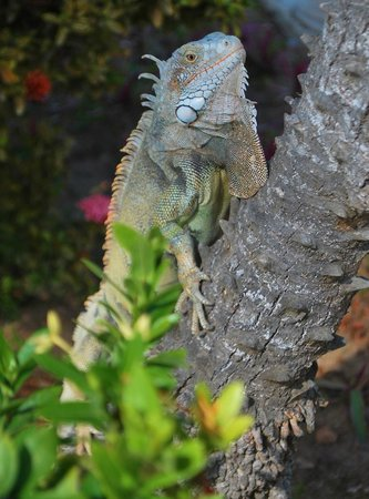 Holiday Inn Resort Aruba - Beach Resort & Casino: Iguana