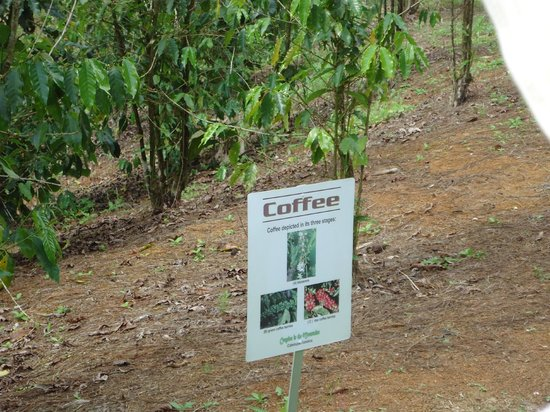 Croydon Plantation: coffee plants