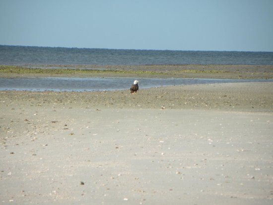 Everglades Backcountry Experience with Capt. Rodney Raffield : Bald Eagle on Little Pavilion Key