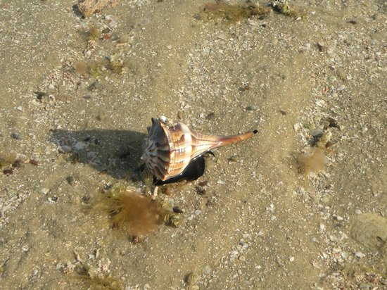 Everglades Backcountry Experience with Capt. Rodney Raffield : Knobbed Whelk on Little Pavilion