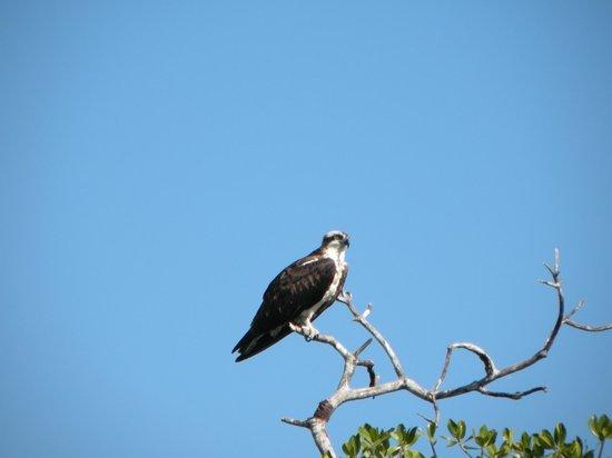 Everglades Backcountry Experience with Capt. Rodney Raffield : Nesting Osprey