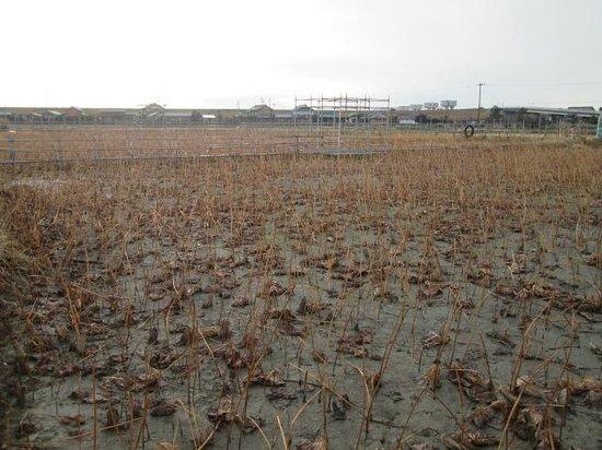 Oga Hasuen: 冬のハス園