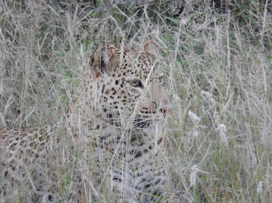 Naledi Bushcamp and Enkoveni Camp: leopard