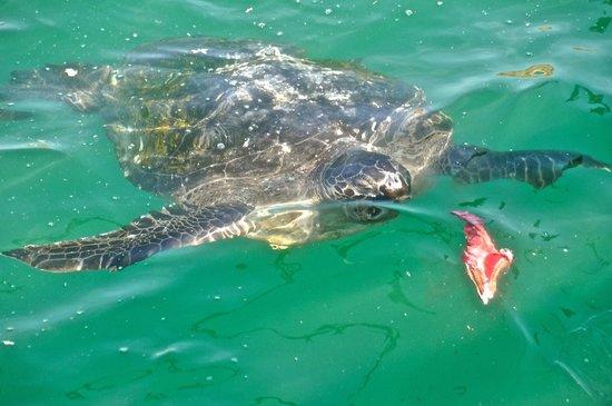 Marcilia Beach Bungalows: tortugas gigantes en Organos