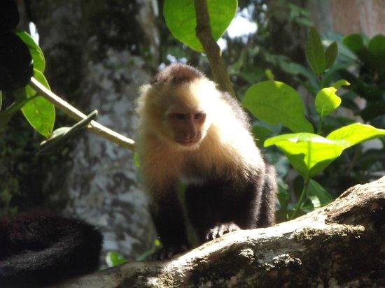 Jungle Creek : Capachin monkey