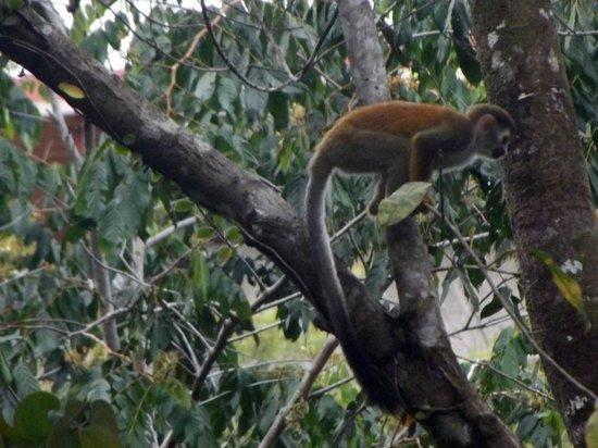 Jungle Creek: Titi Monkey