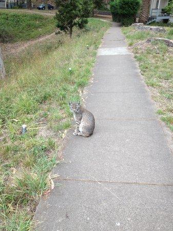 HI Marin Headlands Hostel: A bobcat on the path!