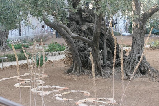 Garden of Gethsemane : Peace amid the olive trees