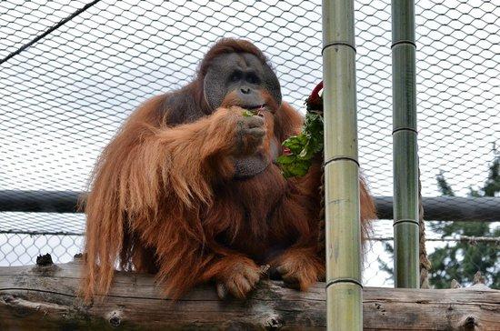Oregon Zoo: Orangutan