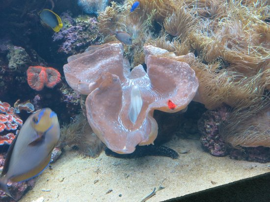 Waikiki Aquarium: Giant clam waiting for lunch