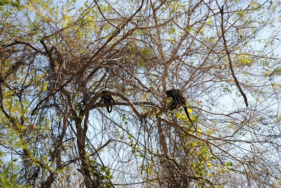 Andaz Costa Rica Resort At Peninsula Papagayo : Monkeys